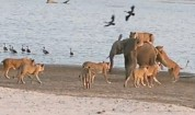 Малко слонче оцелява след нападение от лъвове