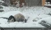 Щастието на една панда през зимата