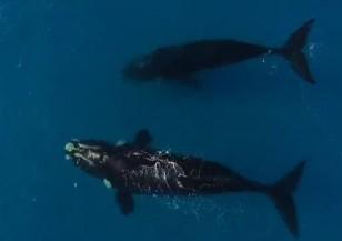 Младеж засне двойка китове (ВИДЕО)