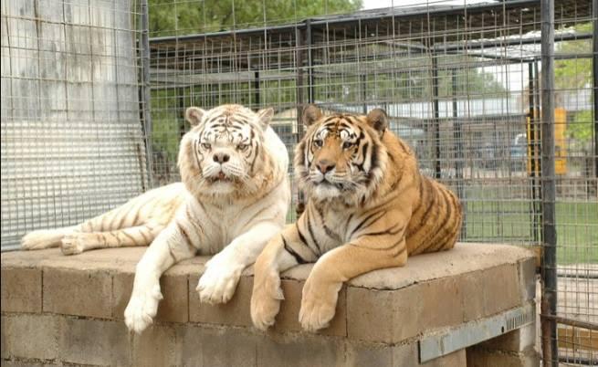 Братята Кени и Уили - тигри с малформации