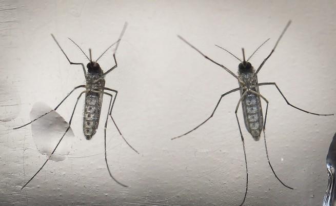 Комари от вида Aedes aegypti, който разпространява вируса Зика