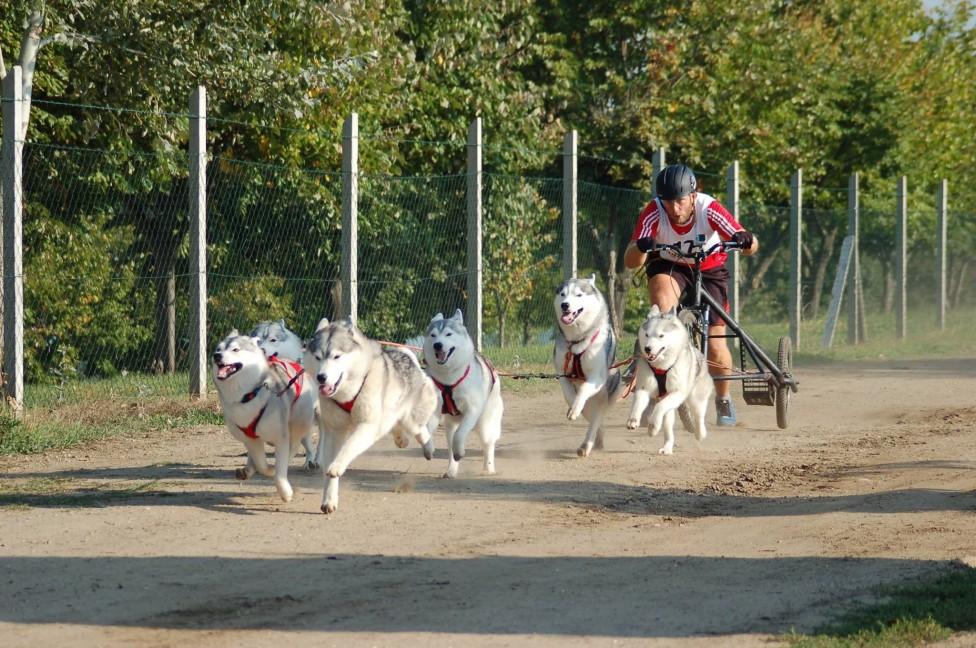 - Родословни сибирски хъскита и техните стопани печелят медали за България от международни спортни състезания за впрегатни кучета. Екипите от рунтави...