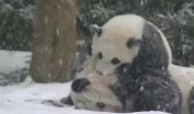 Три панди скоро ще бъдат върнати от САЩ на Китай