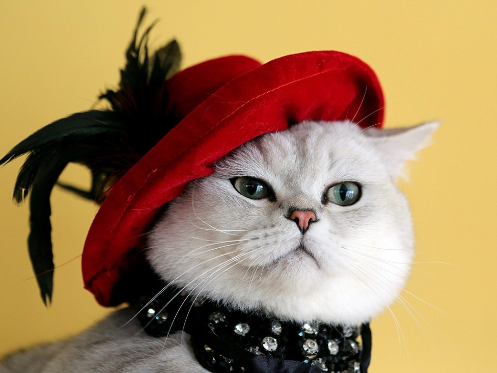 - Шотландска късокосместа котка