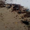 Множество птици намерени мъртви в района на Шабленското и Дуранкулашкото езеро