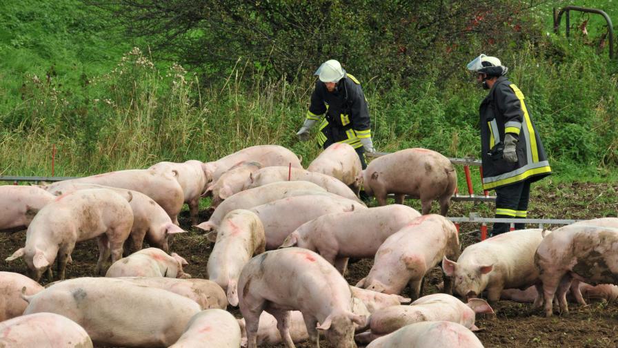 Литва унищожава 90% от свинете в страната