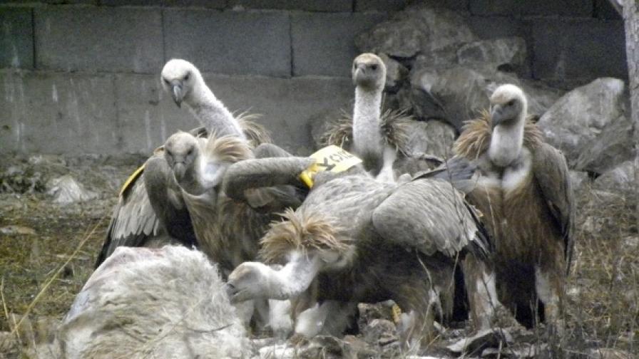 Двойка белоглави лешояди за пръв път от 70 г. насам
