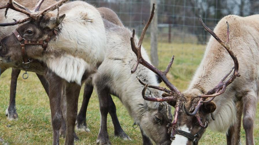 Елените в Лапландия – със светещи рога