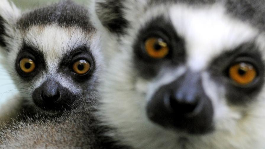Учени: Лемурите са сериозно заплашени от изчезване