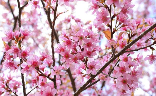 Сезонът на цъфналата сакура беше официално обявен в Токио