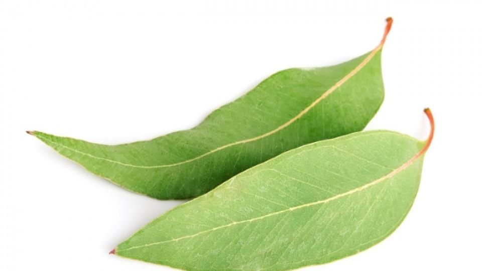 Евкалиптовото масло успокоява дихателните инфекции