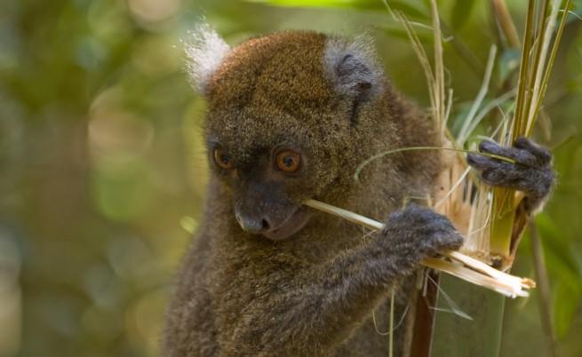 Бамбуков лемур