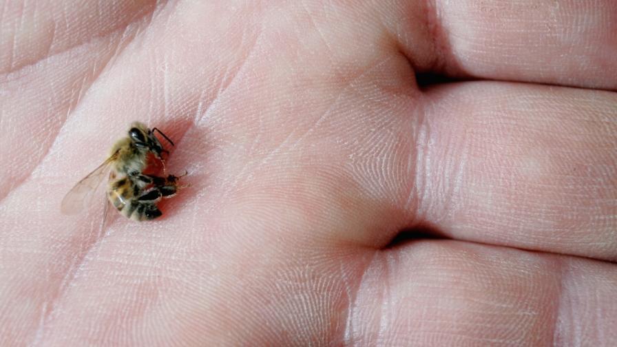 """""""Грийнпийс"""": Пчелният прашец в Европа е замърсен с коктейл от токсични пестициди"""
