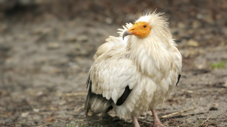 """Камера предава """"на живо"""" от гнездото на редкия египетски лешояд"""