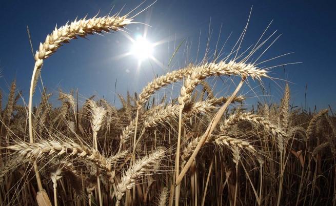 Дъждовете нанесоха сериозни щети и на зърнената реколта