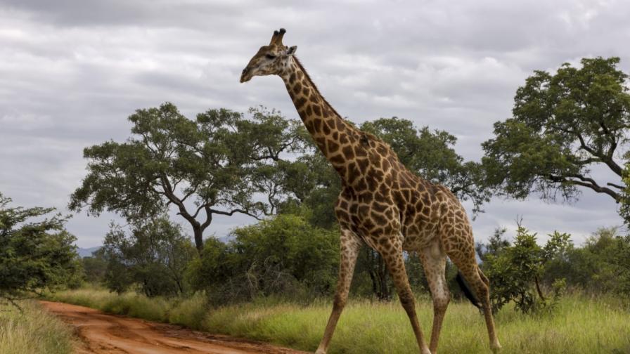 <p>Жестокост: жена позира със сърцето на жираф</p>