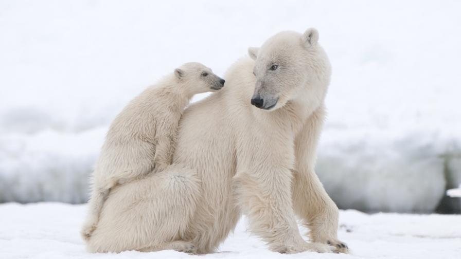Кога полярните мечки изяждат малките си?