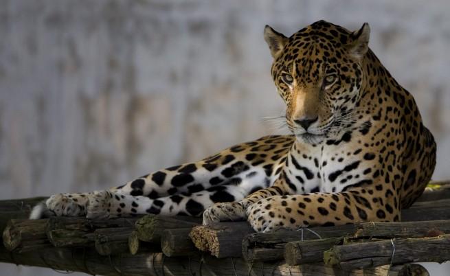 Застреляха избягалия от зоопарка в Ловеч ягуар