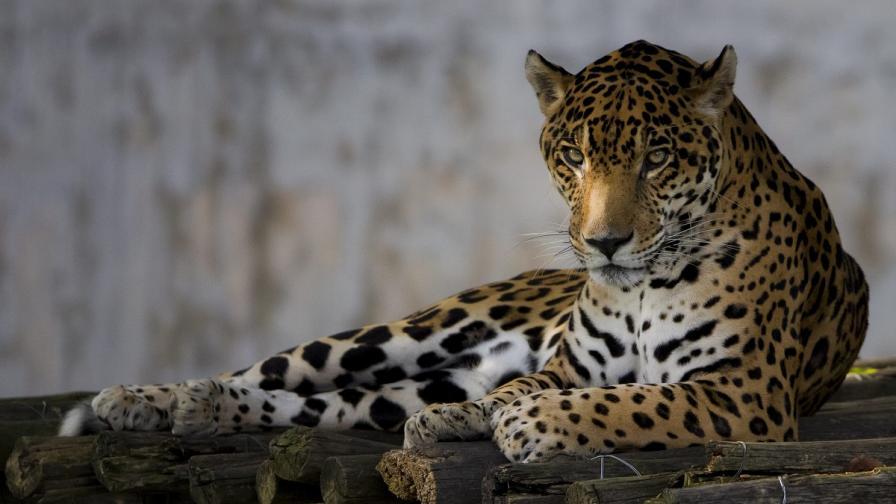Ще препарират и дадат на музей ягуара, убит в Ловеч