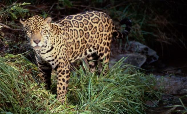 Прокуратурата и МОСВ проверяват случая с ягуара в Ловеч