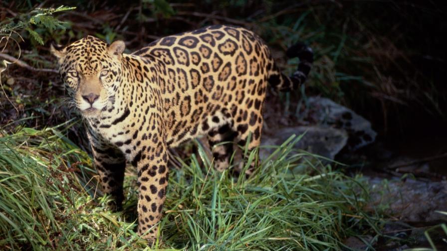 Прокуратурата и МОСВ проверяват случая с ягуара