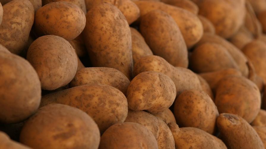 Картофите загниват заради дъждовете, има опасност за реколтата