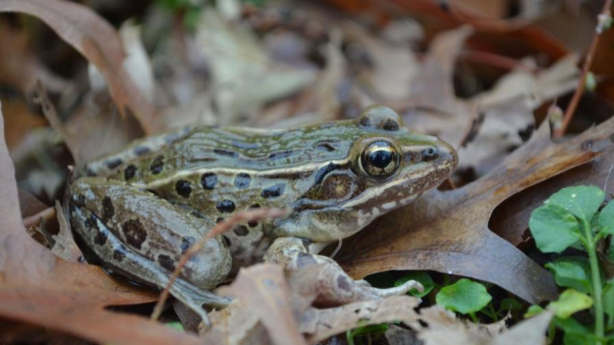 Откриха нов вид жаби в Ню Йорк
