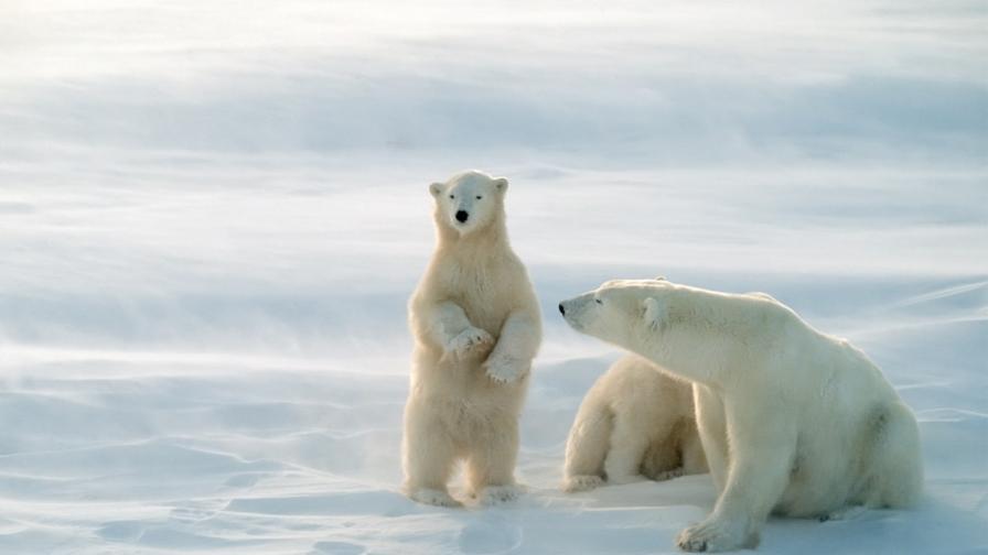 Популацията на полярните мечки значително е намаляла