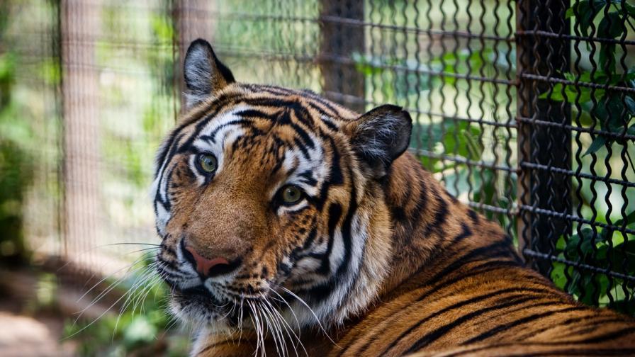 Тигър е избягал от клетката си в столичния зоопарк