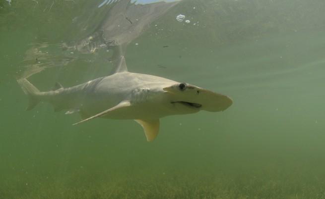 Акула чук