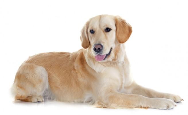 В САЩ лекуват куче с лазер след брутална атака (видео)