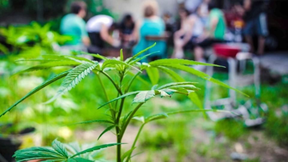 Нов вид лечебна... марихуана