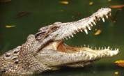 Крокодил заживя с монаси, стана вегетарианец