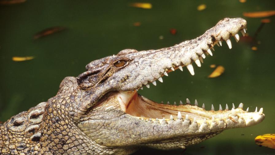 Свещен крокодил умря от преяждане