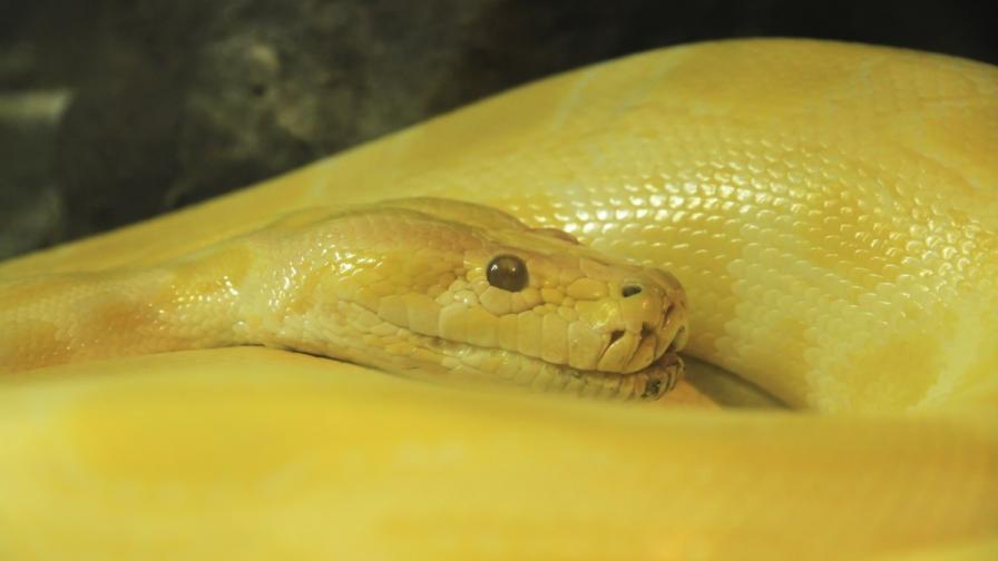 Змия се научава да отваря врати (видео)