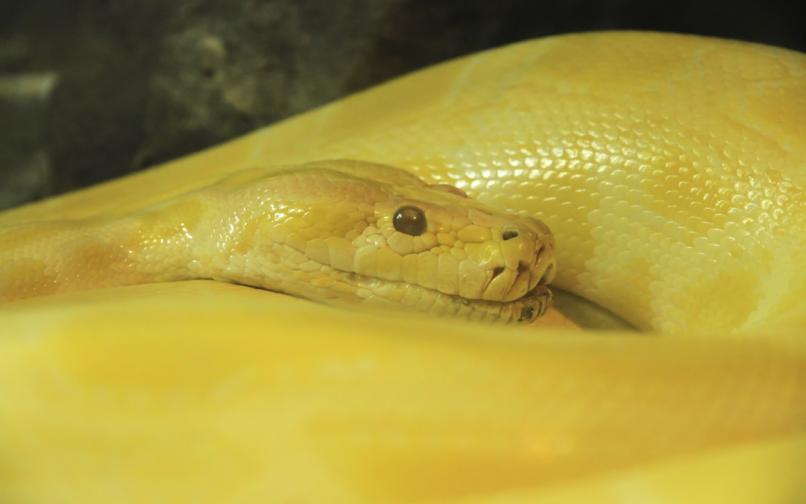 боа констриктор змия