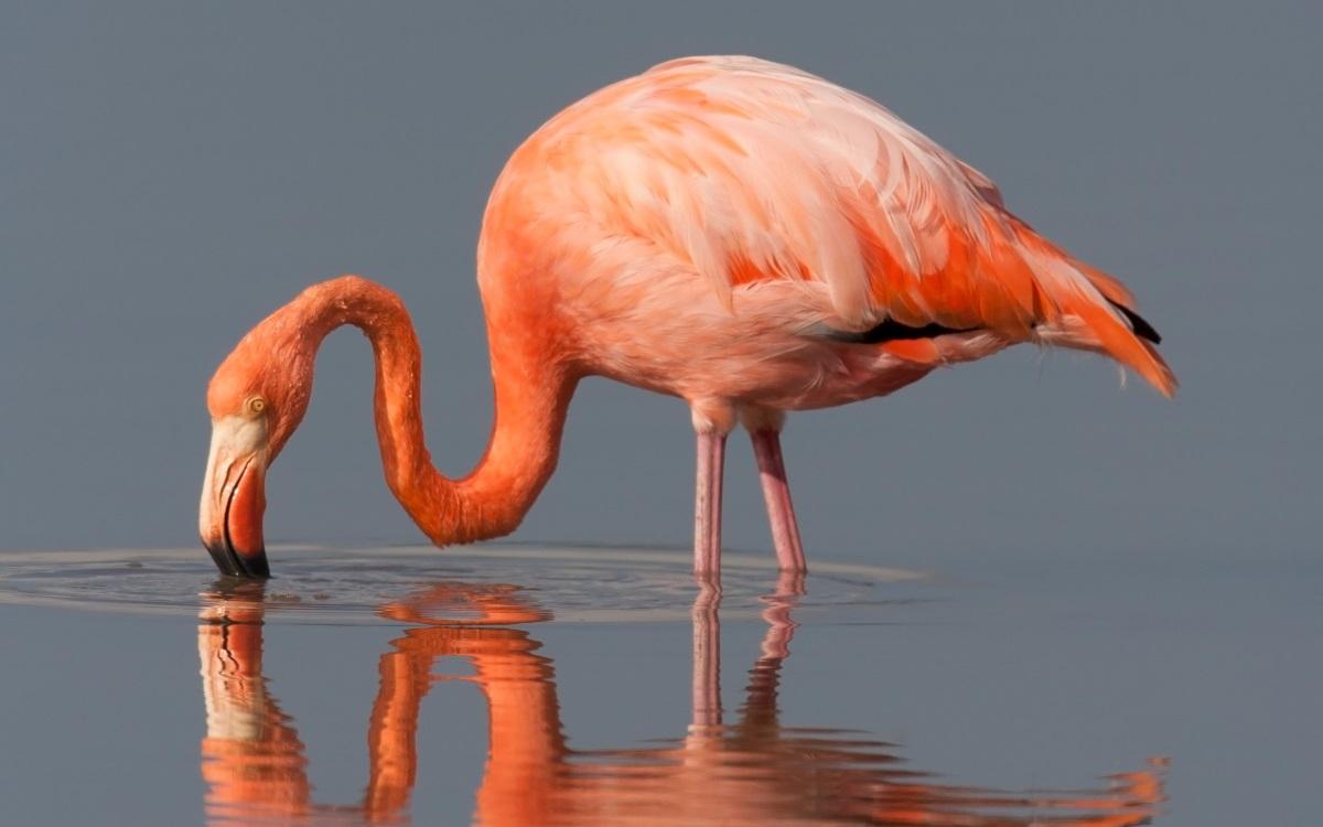 <p><strong>Живот в розово</strong></p>  <p>Фламинго не са розови, те се раждат сиви. Това, което придава на птиците отличителния им оттенък, е диетата им от скариди и синьо-зелени водорасли, които съдържат естествена боя. С течение на времето перата им стават розови.</p>