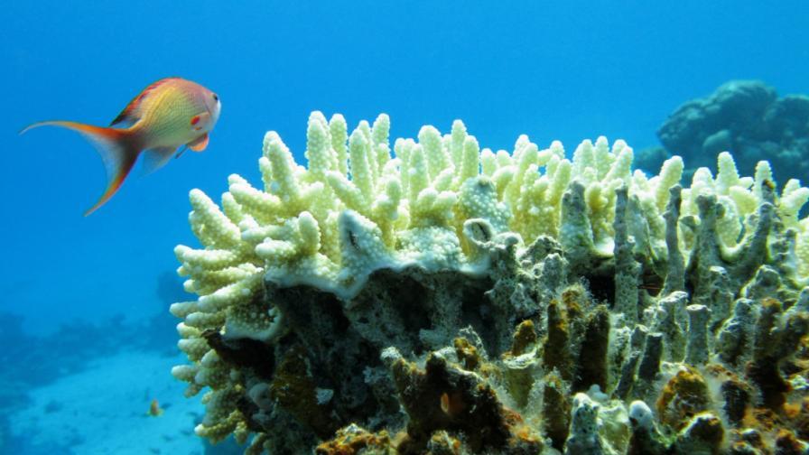 Коралите с тайно оръжие в борбата си за оцеляване