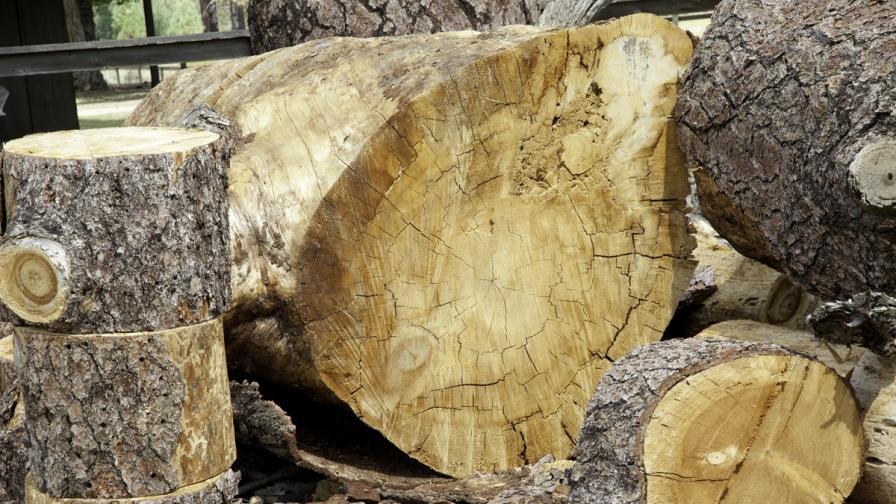 Бракониери секат дървета и стават все по нагли
