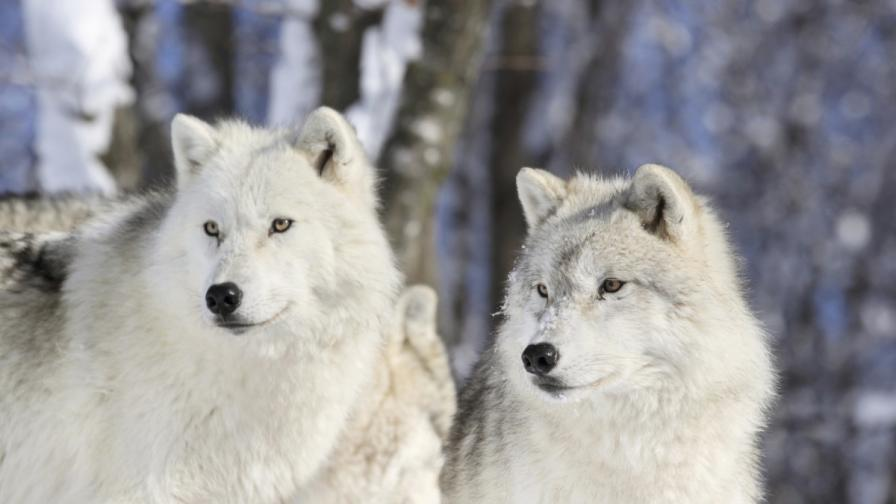 Тайните на вълците