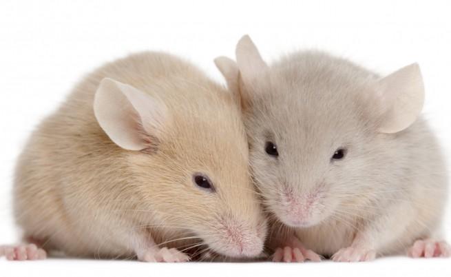 Учени откриха мишки, смятани за изчезнали преди 30 години