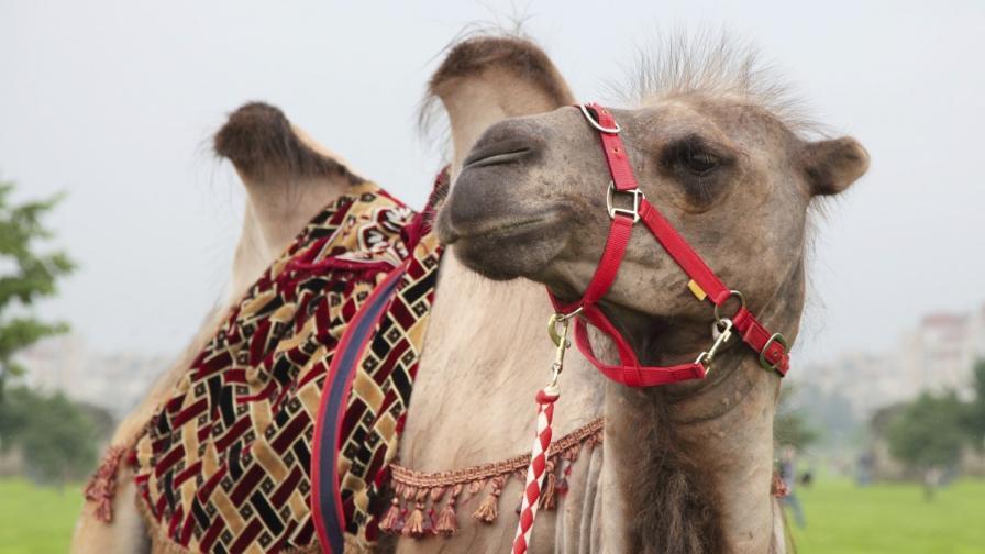 Куриоз: Мъж се развежда, съпругата му целунала камила