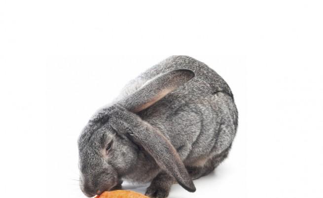 Най-големите зайци в света са баща и син (видео)