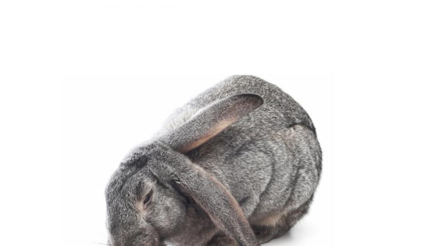 Гигантски заек