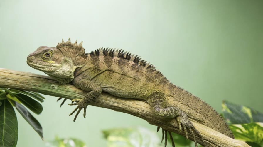 Откриха нови видове драконови гущери