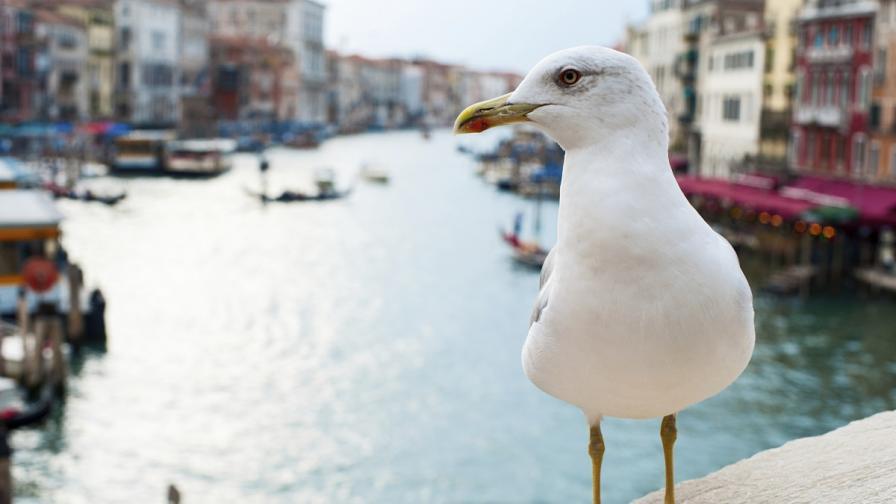 Венеция обявява война на чайките