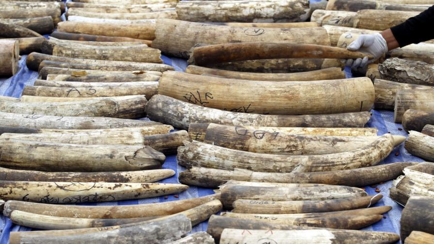 В Габон откраднаха 300 кг слонова кост от съдебна зала