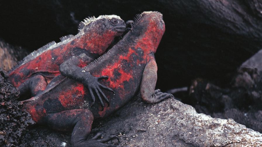 Игуани на Галапагоските острови