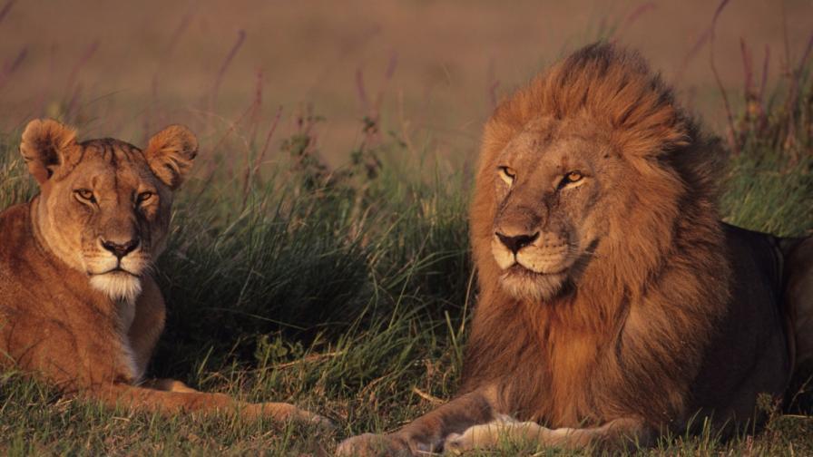 Царят на животните се завръща в Руанда