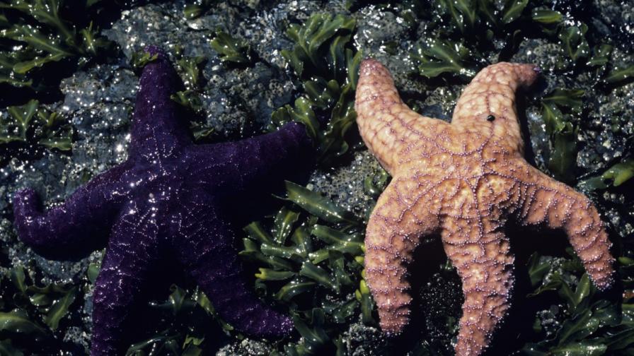 Морските звезди, избягващи секса, живеят по-дълго